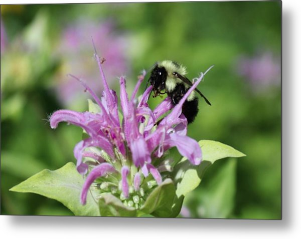 Bumblebee On Bee Balm Metal Print