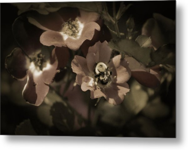 Bumblebee On Blush Country Rose In Sepia Tones Metal Print