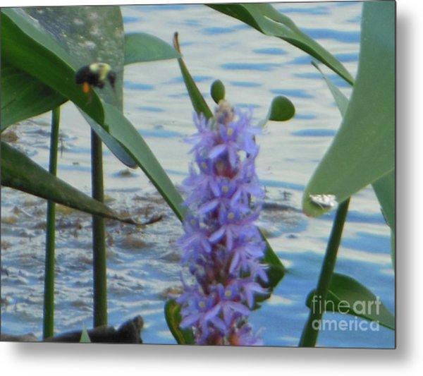 Bumblebee Pickerelweed Moth Metal Print