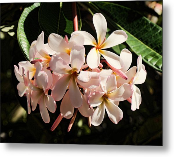 Bunch Of Plumeria Metal Print
