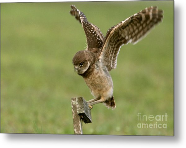 Burrowing Owl - Learning To Fly Metal Print