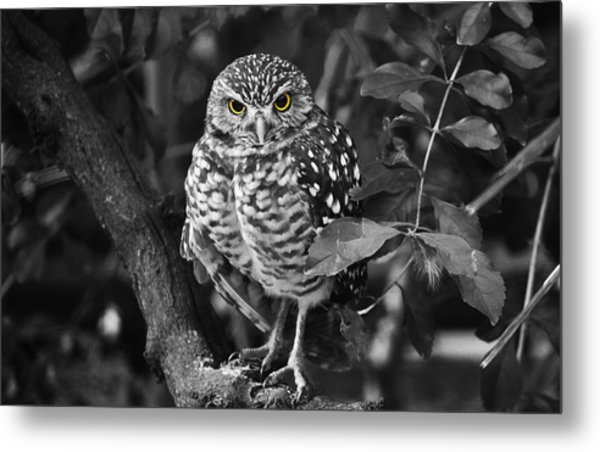 Burrowing Owl  Selective Color Eyes Metal Print