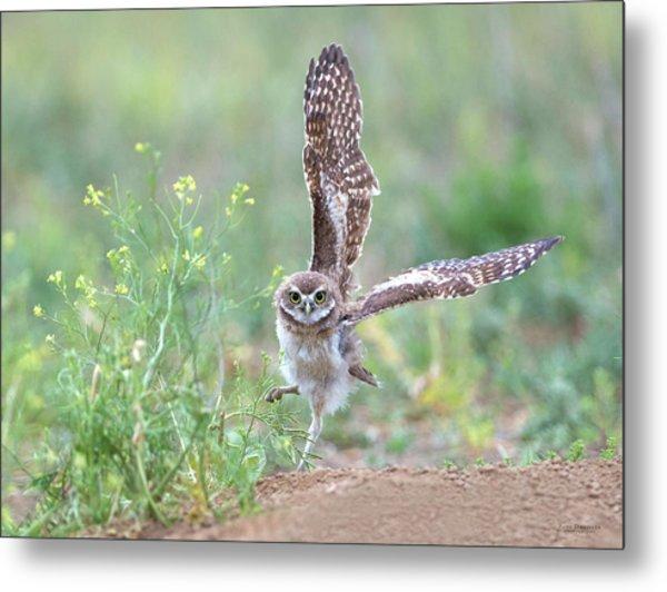 Burrowing Owl Spies Grasshopper Metal Print