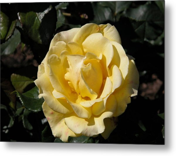 Butter Rose Metal Print by William Thomas