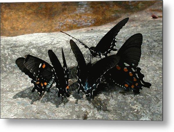 Butterflies Drinking Metal Print