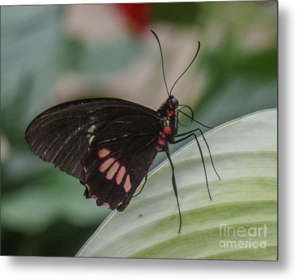 Butterfly 8 Metal Print