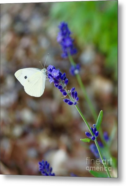 Butterfly And Lavender Metal Print