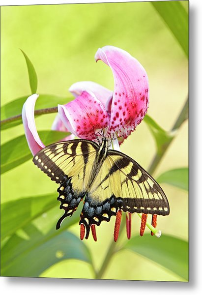 Butterfly And Lily Metal Print