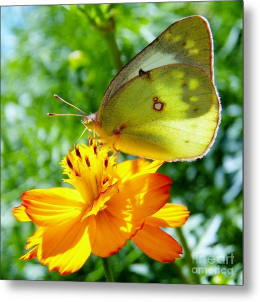 Butterfly And Yellow Cosmo Flower Metal Print