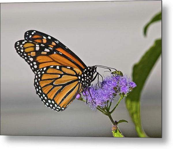 Butterfly Bug Inspector Metal Print