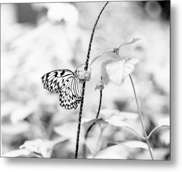 Butterfly Eatting  Metal Print