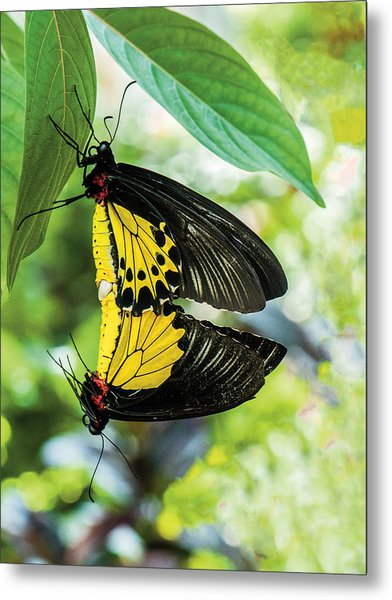 Butterfly Mating Metal Print