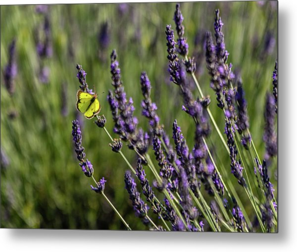 Butterfly N Lavender Metal Print