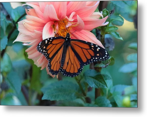 Butterfly On Dahlia Metal Print