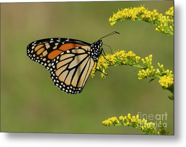 Butterfly On Flowers Metal Print