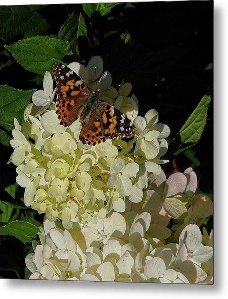 Butterfly On Hydrangea Metal Print