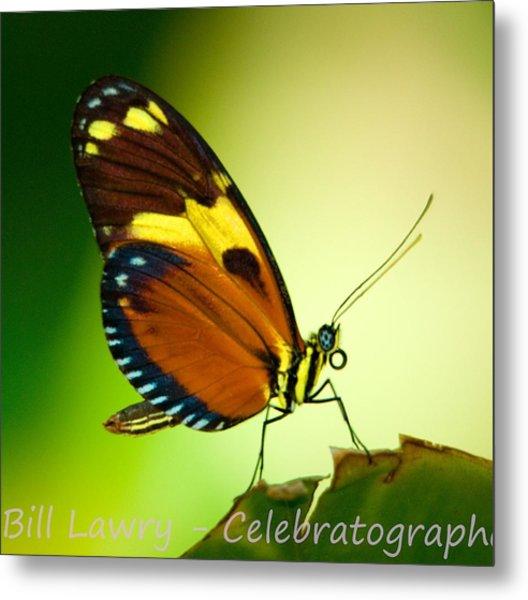 Butterfly On Leaf Metal Print by Bill Lawry