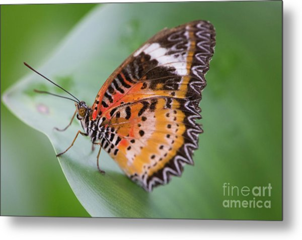 Butterfly On The Edge Of Leaf Metal Print