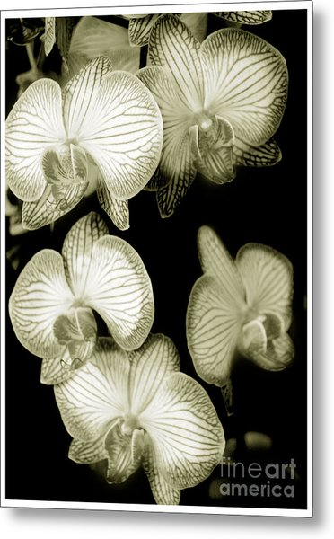 Butterfly-orchids Metal Print by Son Of the Moon