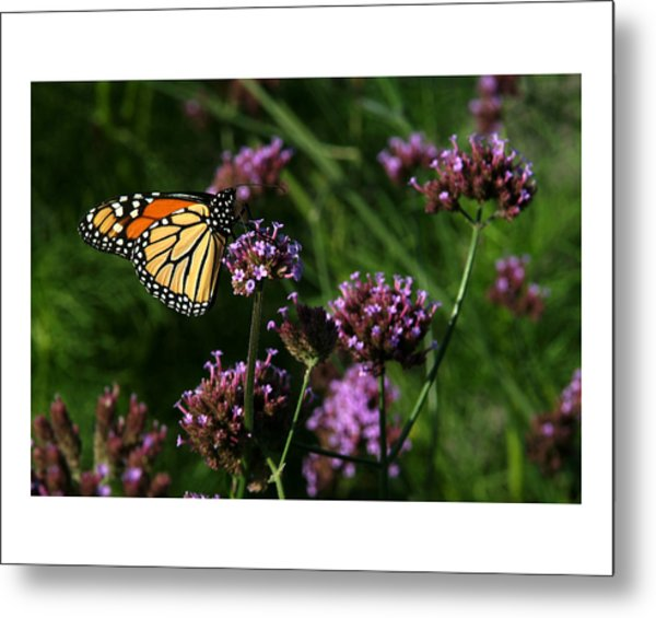 Butterfly Metal Print by Robert Ruscansky