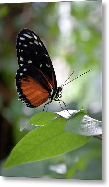Butterfly Royalty Metal Print