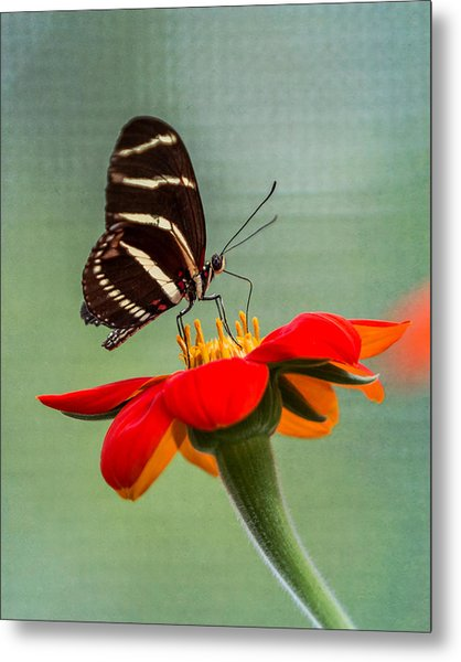 Butterfly Zebra Longwing On Zinnia Metal Print