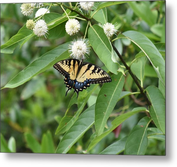 Button Willow Honeyball And Tiger Swallowtail Butterfly Metal Print by rd Erickson