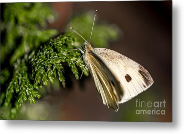 Cabbage Butterfly On Evergreen Bush Metal Print