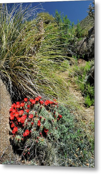 Crimson Barrel Cactus Metal Print