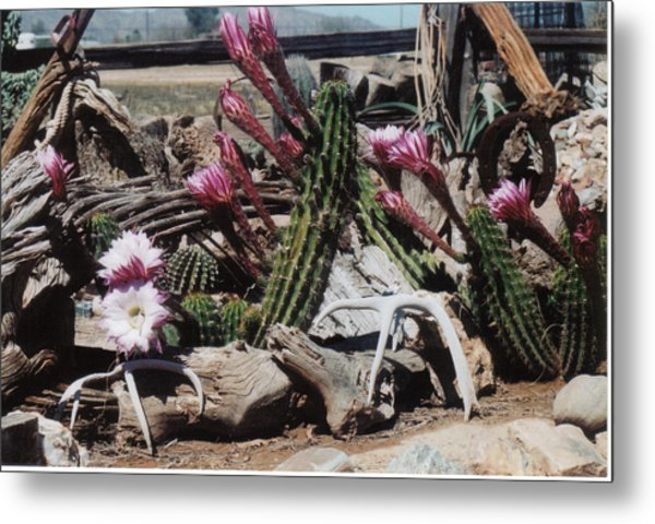 Cactus Still Life Metal Print by E M Murray