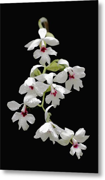 Calanthe Vestita Orchid Metal Print