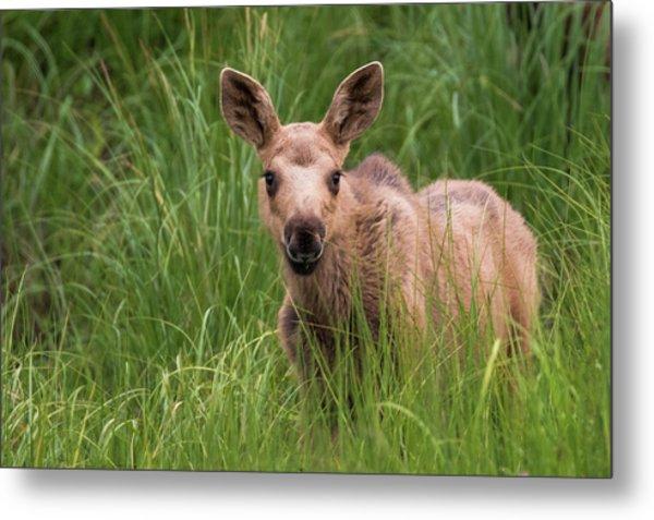 Calf Moose In The Grass Metal Print
