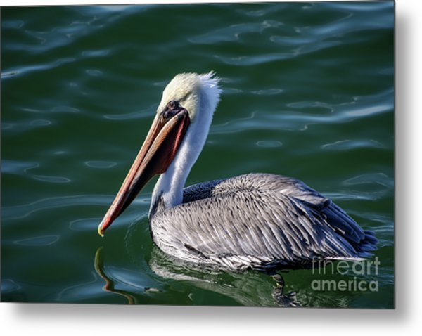 California Brown Pelican In Late Summer Metal Print