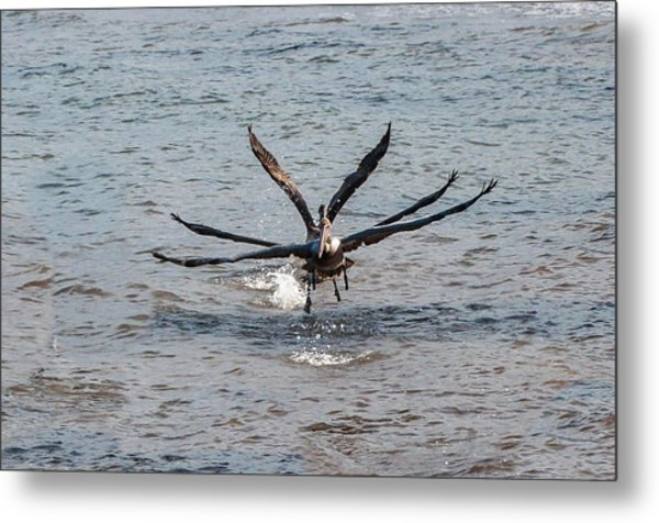 California Brown Pelicans Flying In Tandem Metal Print