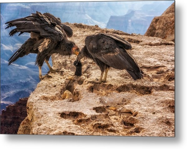 California Condors Inspecting A Sock Metal Print