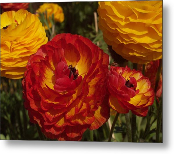 California Gold Metal Print by Jean Booth