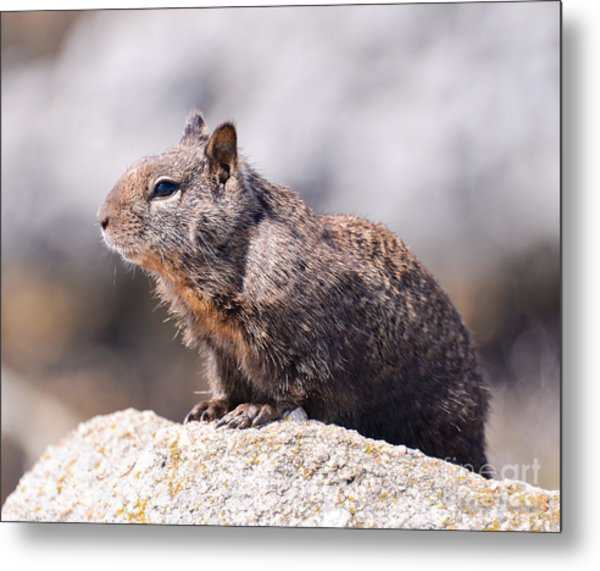 California Ground Squirrel Metal Print