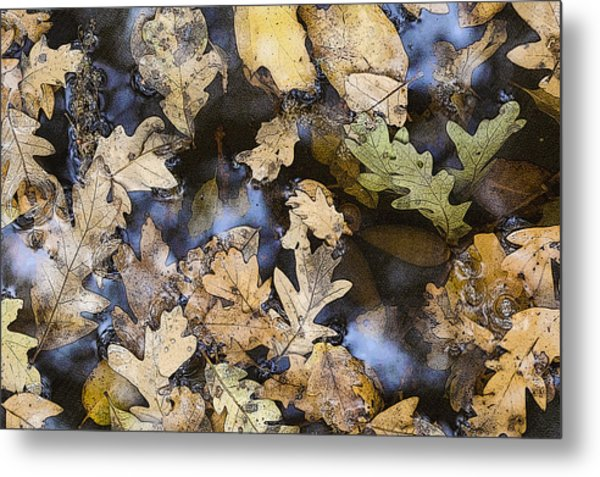 California Oak Leaves  Metal Print