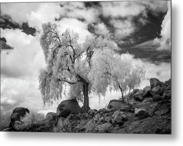 California Pepper Tree Metal Print