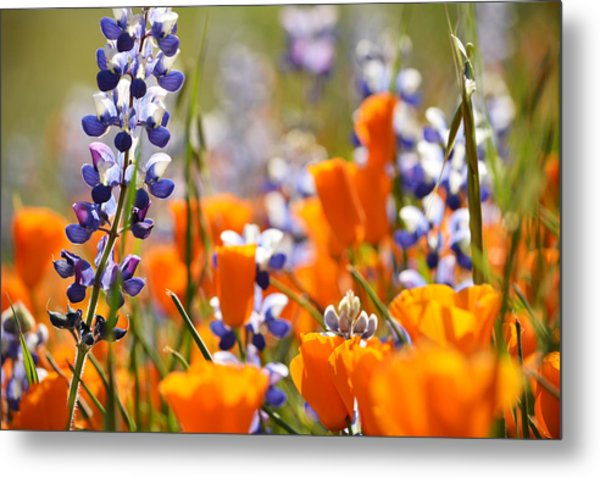 California Poppies And Lupine Metal Print