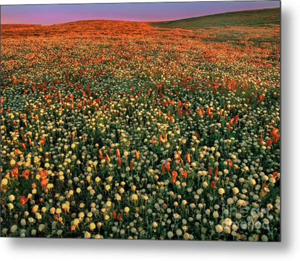 Metal Print featuring the photograph California Poppies At Dawn Lancaster California by Dave Welling