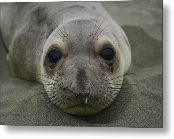 California Sea Lion Metal Print by Hans Jankowski