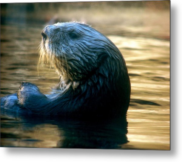 California Sea Otter Metal Print