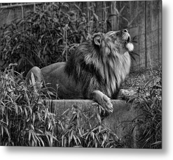 Call Of The Wild Bw Metal Print by Keith Lovejoy