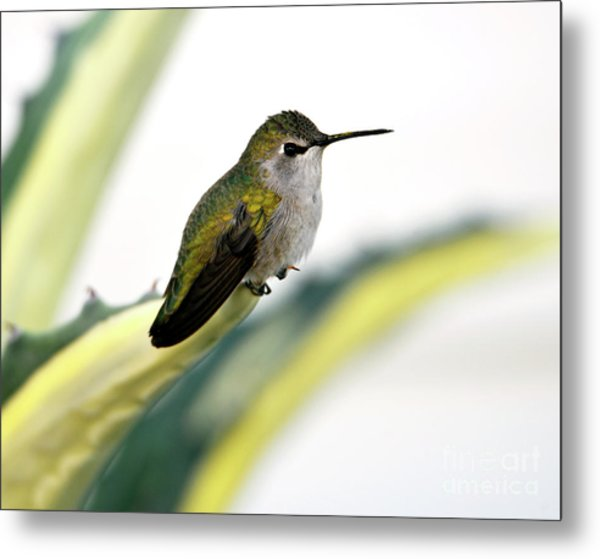 Calliope Hummingbird On Agave Metal Print