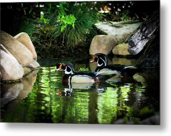 Calm Waters - Wood Ducks Metal Print