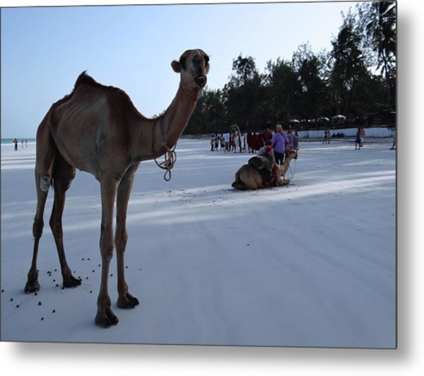 Camel On Beach Kenya Wedding 6 Metal Print