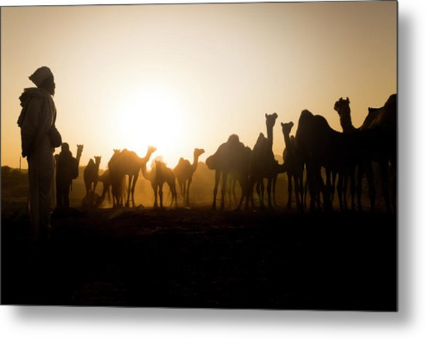 Camels At Pushkar During Sunset Metal Print