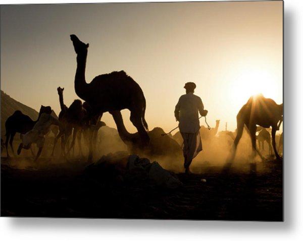 Camels During Sunset At Pushkar Metal Print