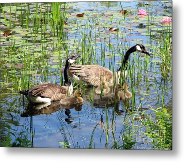Canada Geese Family On Lily Pond Metal Print